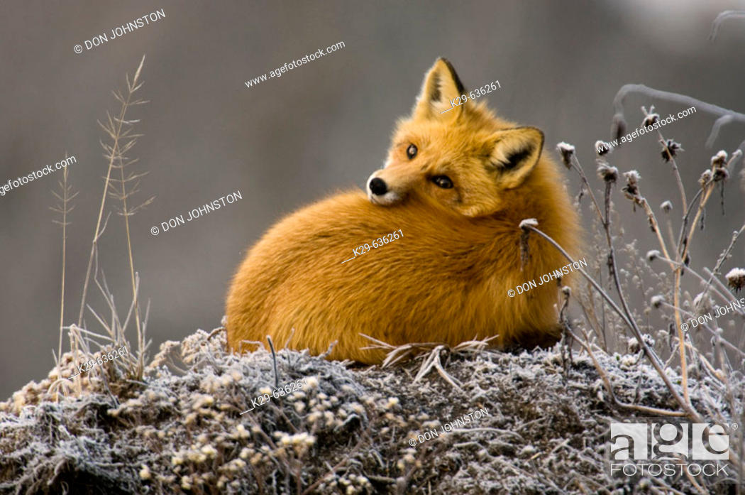 Stock Photo: Red fox (Vulpes vulpes) resting on frosted mound of earth.