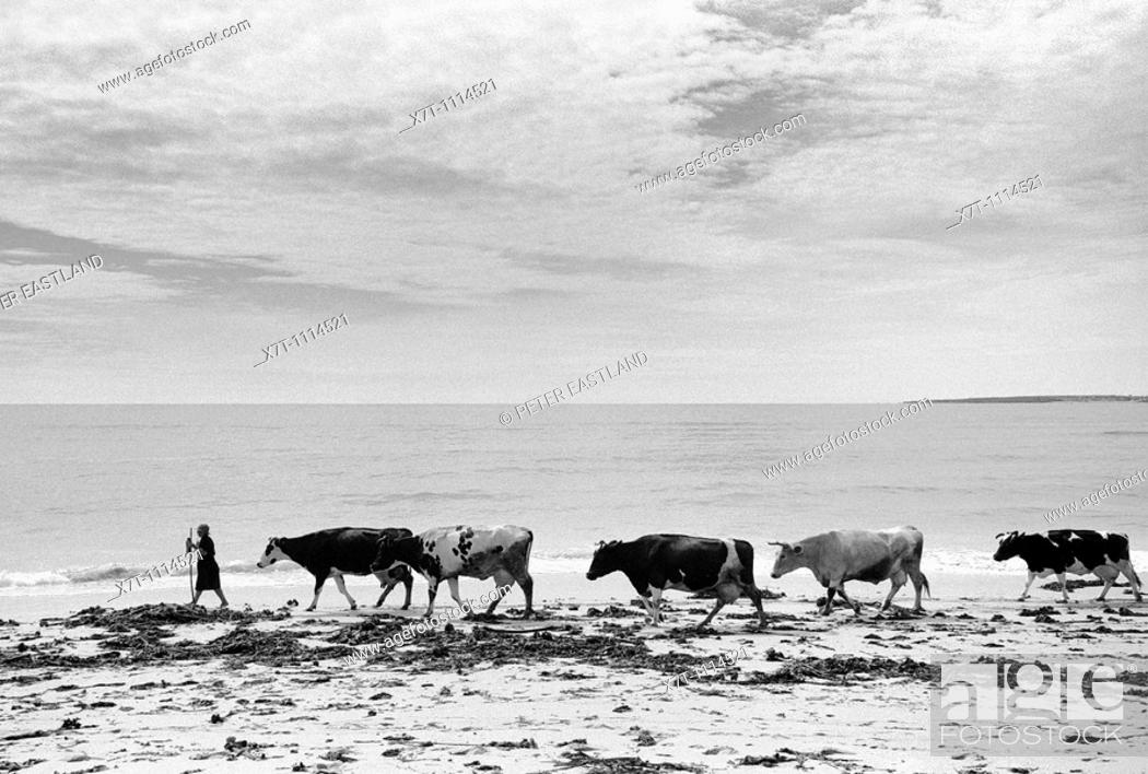 Stock Photo: A woman walks her cattle home from grazing land behind Ladeira beach near Corrubedo and Ribeira in Galicia on Spains Atlantic coast  Corrubedo and Ribeira are.