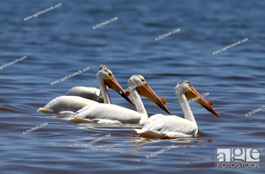 Stock Photo: White American pelican(Pelecanus erythrorhynchos) after hunting, swallowing fish in the Great Lake Michigan.