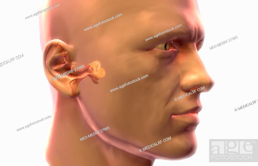 Stock Photo: Anatomy of the ear.
