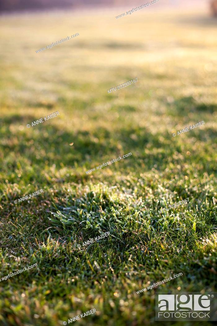 Stock Photo: Dew drops on grass in the field during sunrise, Renesse, Schouwen-Duiveland, Zeeland, Netherlands.