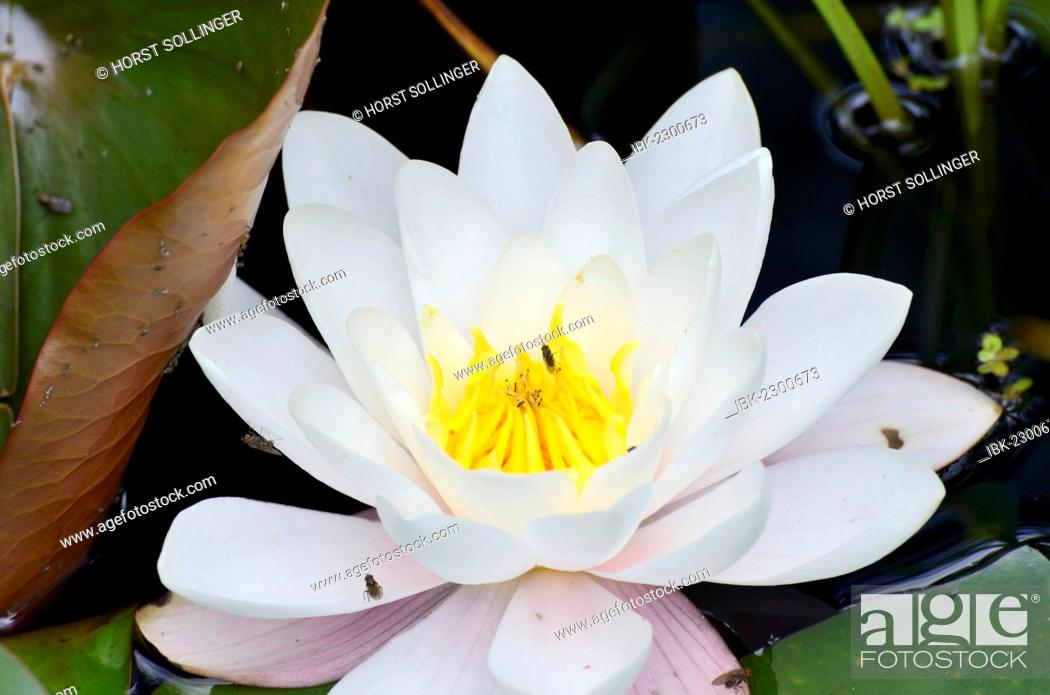 Stock Photo: White water lily or waterlily (Nymphaea alba).