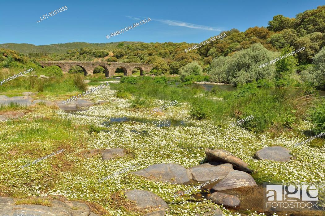 Stock Photo: Aquatic vegetation (Ranunculus). Río Tormes, Avila province, Castile-Leon, Spain.