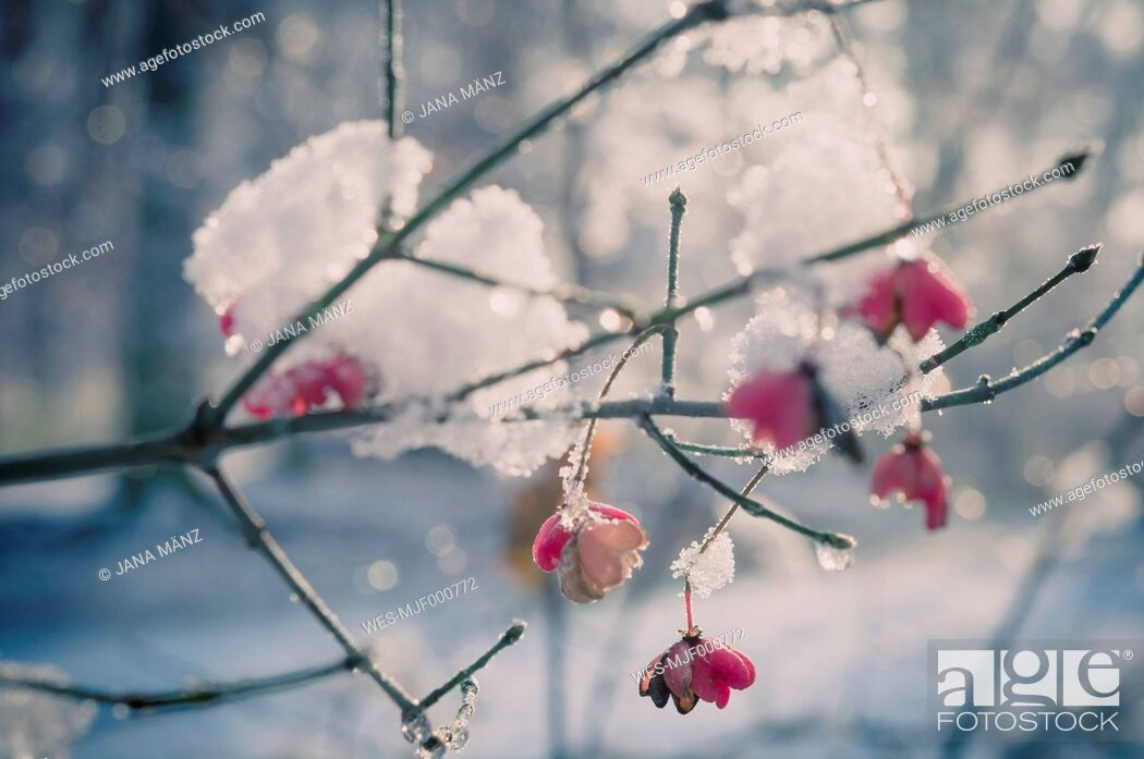 Stock Photo: Snow covered spindle tree (European Evonymus), close-up.