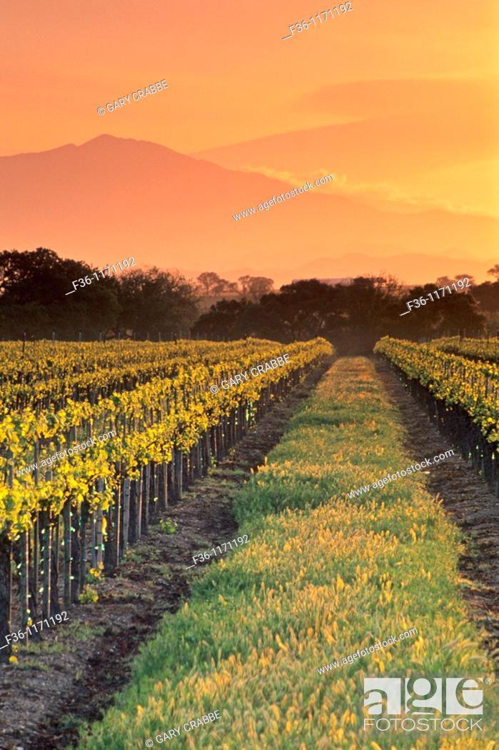 Stock Photo: Sunrise over vineyard in spring along Refugio Road, near Santa Ynez, Santa Barbara County, California.