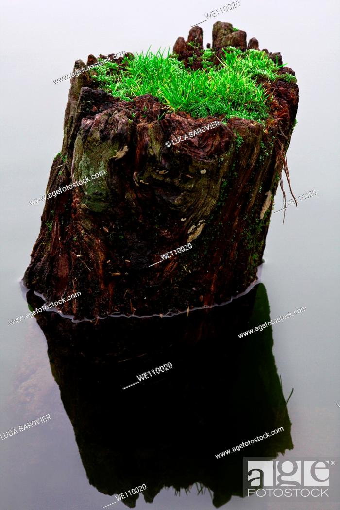 Stock Photo: A trunk in the lake with an unusual growth of grass.