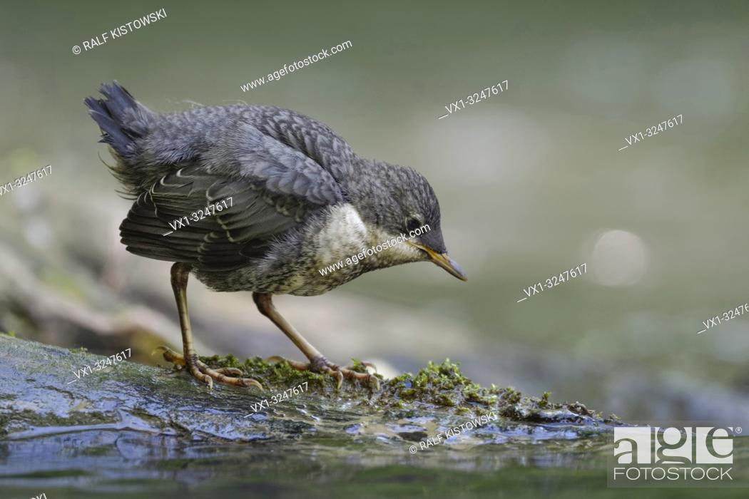 Imagen: White throated Dipper ( Cinclus cinclus ), fledged chick, standing on a rock in a river, searching for food, getting independent, wildlife, Europe.