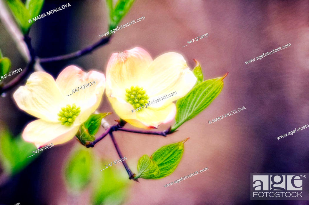 Stock Photo: White Dogwood Blossom. Cornus florida, white. April 2005, Maryland, USA.