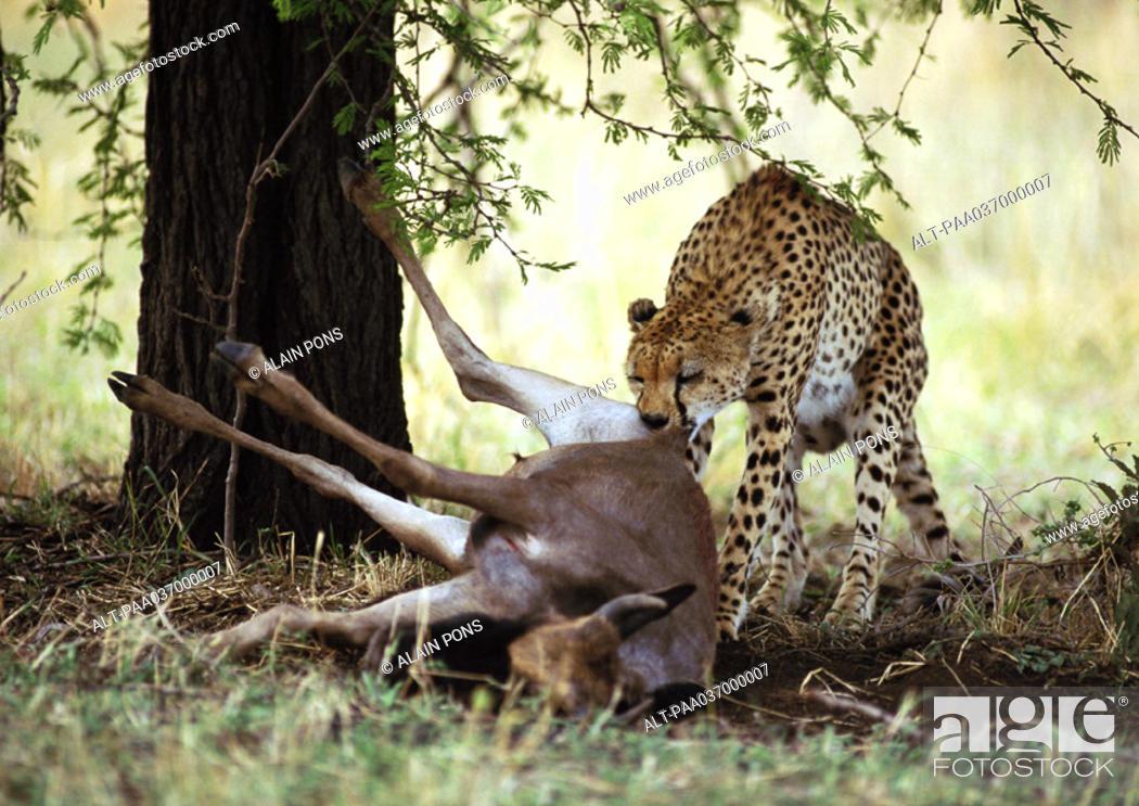 Stock Photo: Africa, Tanzania, cheetah biting into prey.