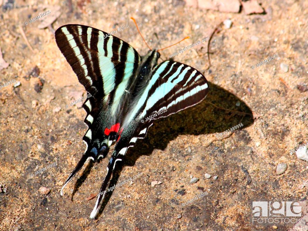 Stock Photo: Zebra Swallowtail Eurytides marcellus.