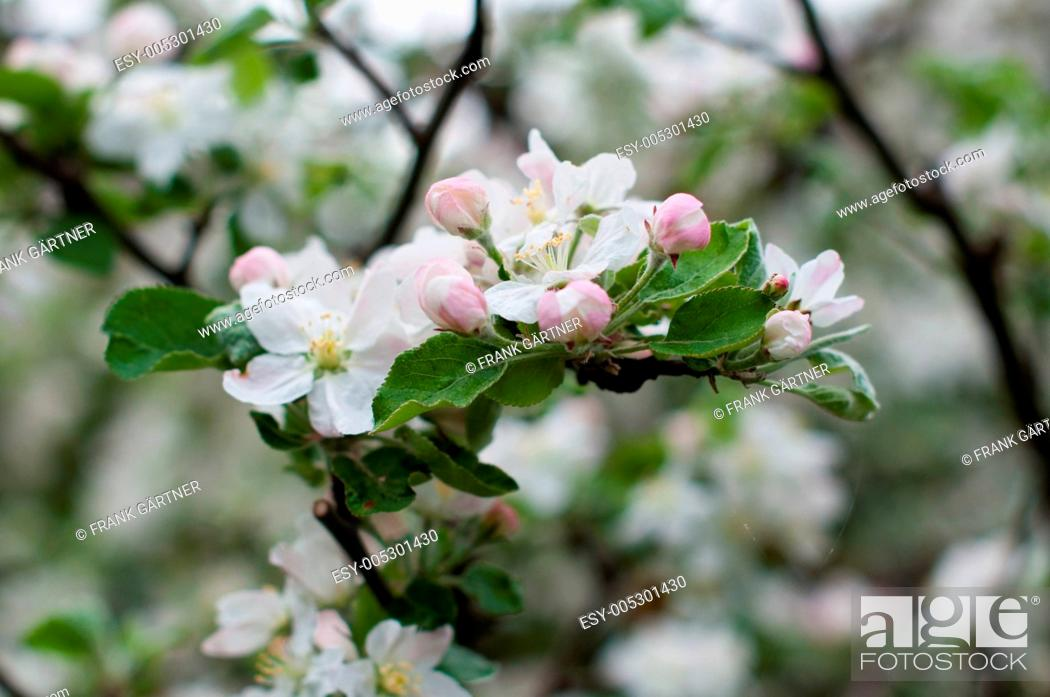 Stock Photo: Apple Blossoms.
