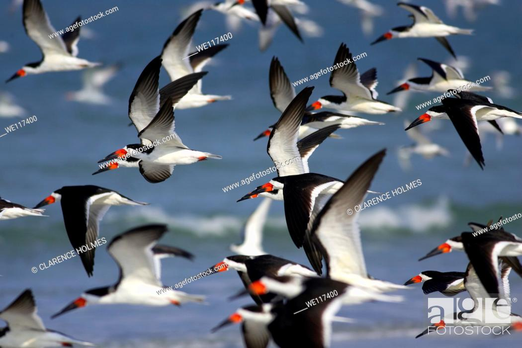 Stock Photo: Flock of Black Skimmers Rynchops niger takes flight over the beach at Fort Desoto Park, Tierra Verde, Florida, USA.