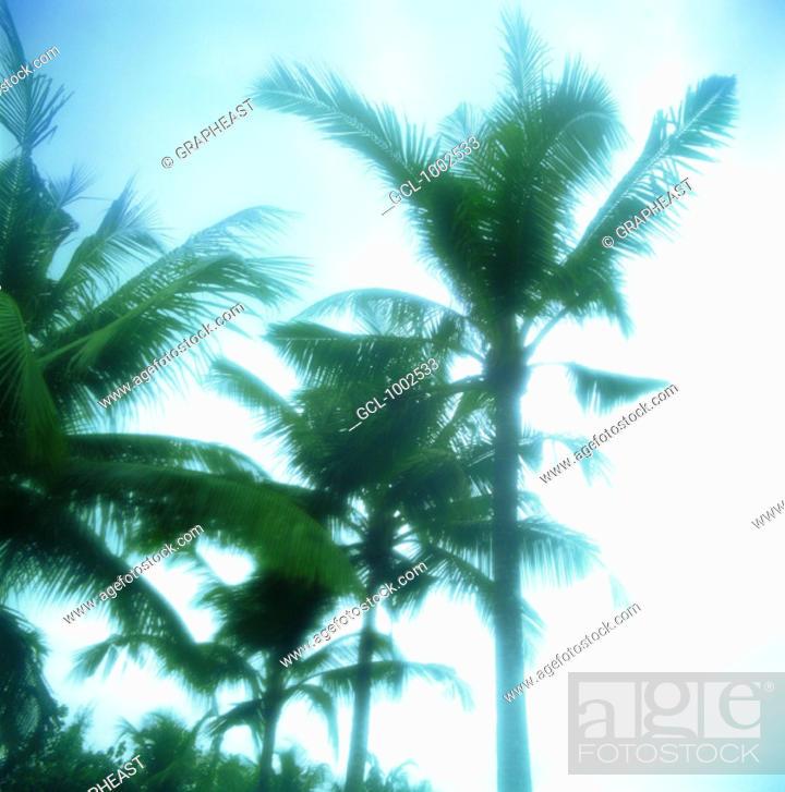 Stock Photo: Palm trees.