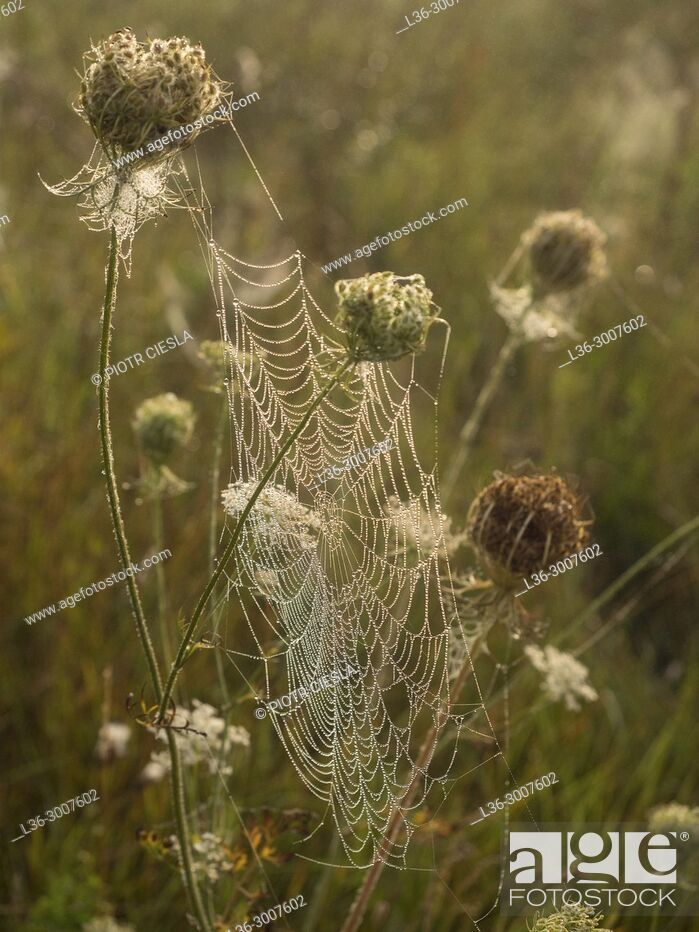 Stock Photo: Morning webs in a meadow. Poland.