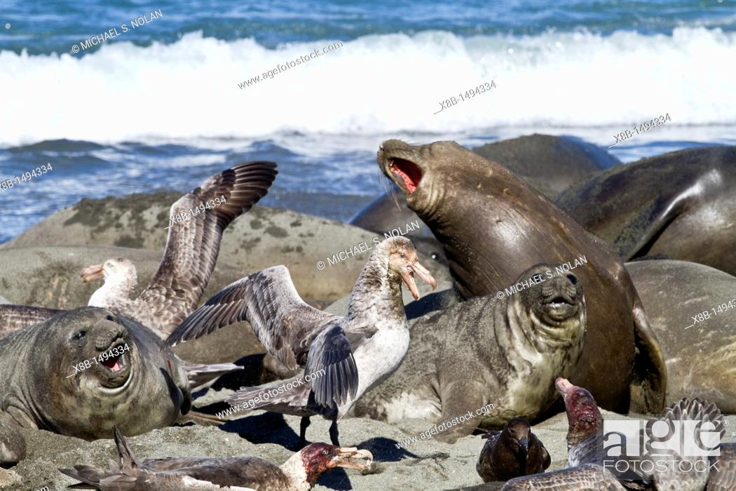 Imagen: Northern giant petrel Macronectes halli fighting over the scavenging rights to a dead elephant seal pup at Royal Harbor on South Georgia Island.