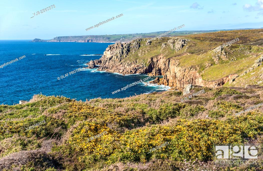 Stock Photo: Yellow Gorse flower in a scenic coastal landscape at Lands End, Cornwall, England, UK.