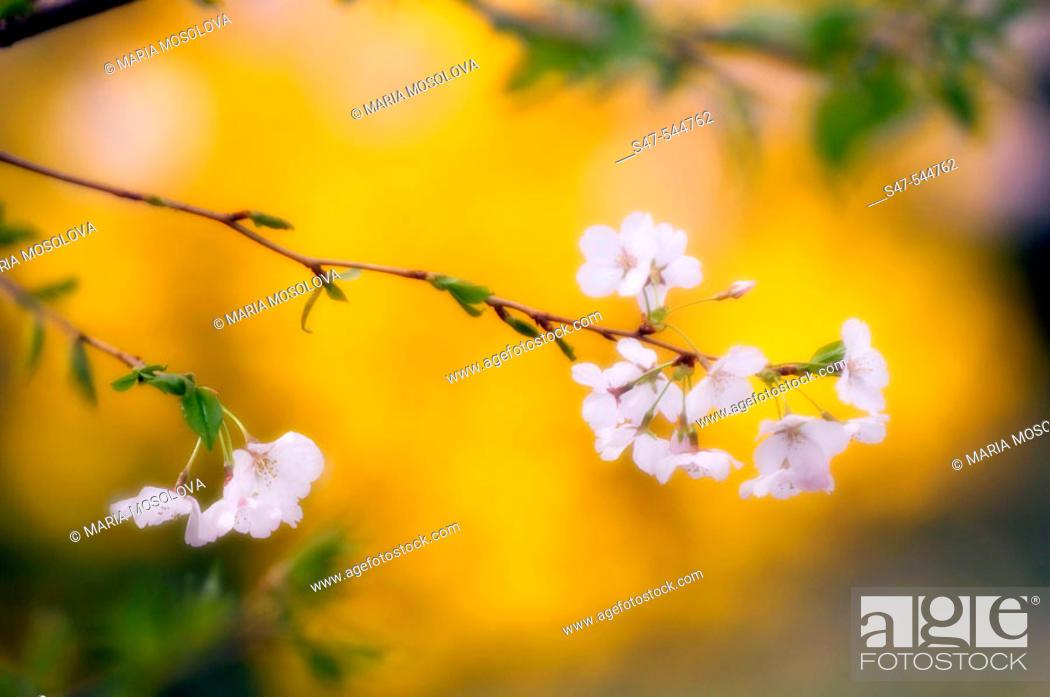 Stock Photo: Cherry Blossom. Prunus serrulata , April 2006. Maryland, USA.