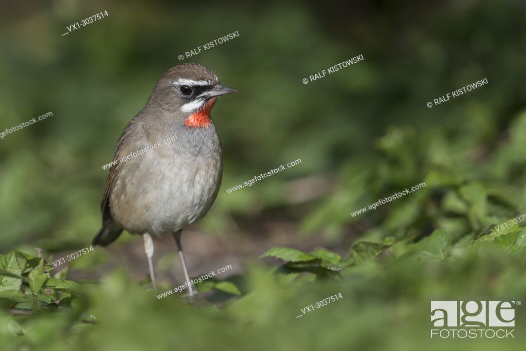 Stock Photo: Siberian Rubythroat ( Luscinia calliope ), male bird, extremly rare winter guest in Western Europe, first record in the Netherlands, wildlife.