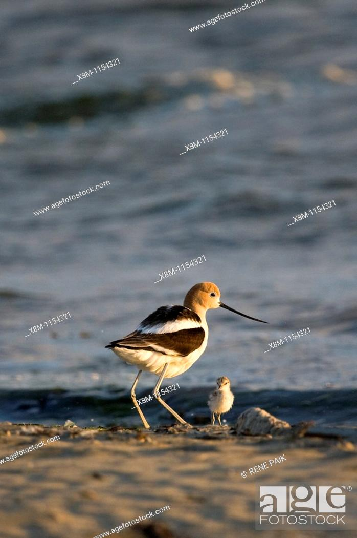 Stock Photo: American Avocet parent with its chick at Middle Harbor Shoreline Park in Oakland, California, part of the network of East Bay Regional Parks.