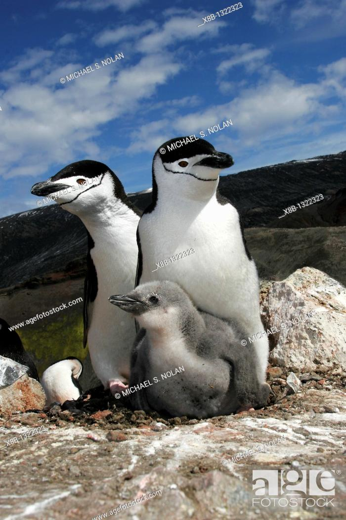 Stock Photo: Chinstrap penguin Pygoscelis antarctica parents with chick high on the caldera rim on Deception Island, Antarctica.