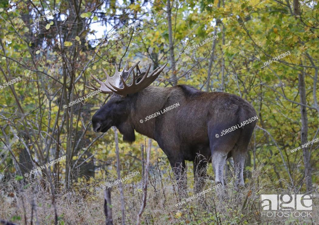Stock Photo: Moose bull, Gnesta, Sodermanland, Sweden.