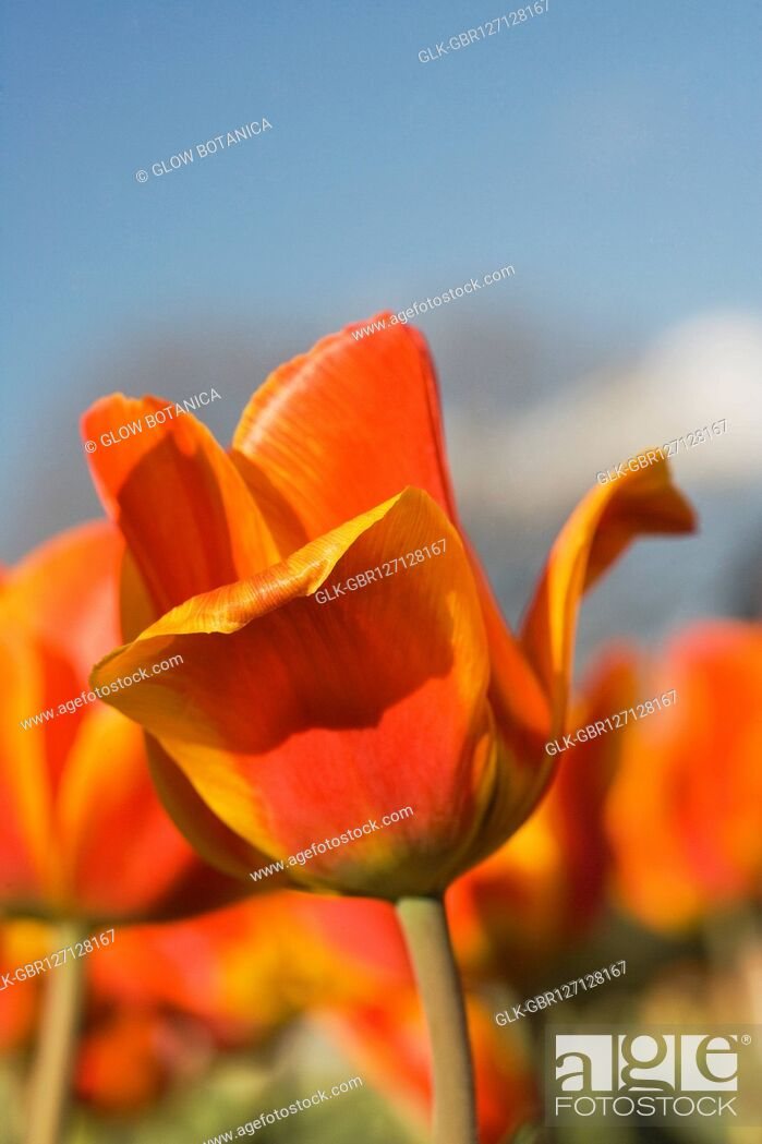 Stock Photo: Close-up of tulips.