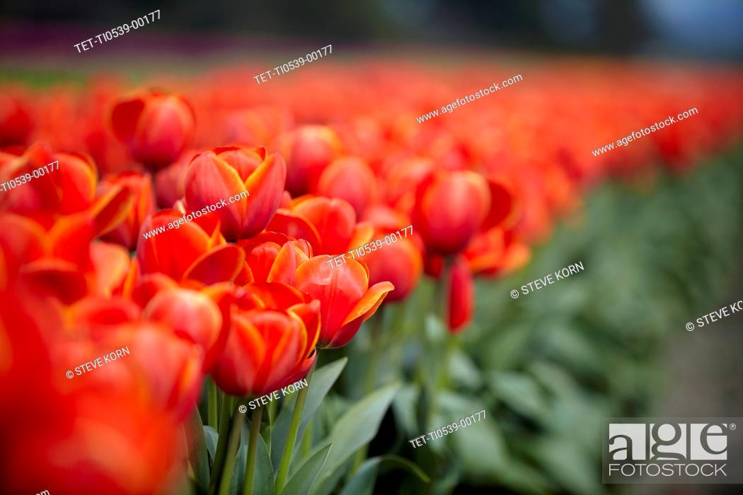 Stock Photo: Red tulips in field.