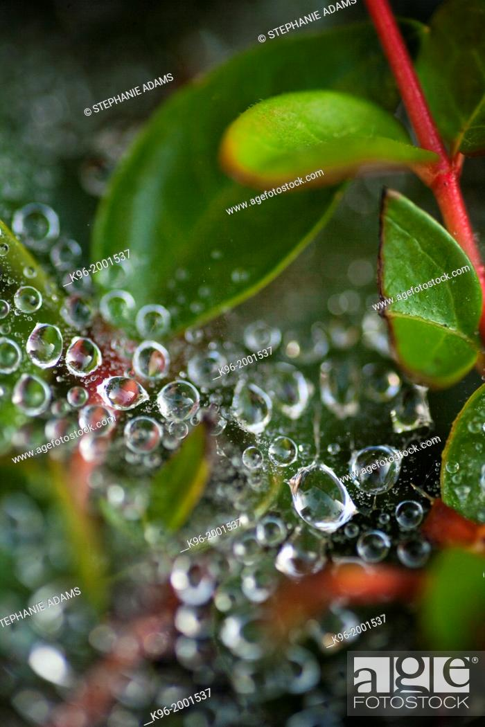 Stock Photo: dew drops on spider web.