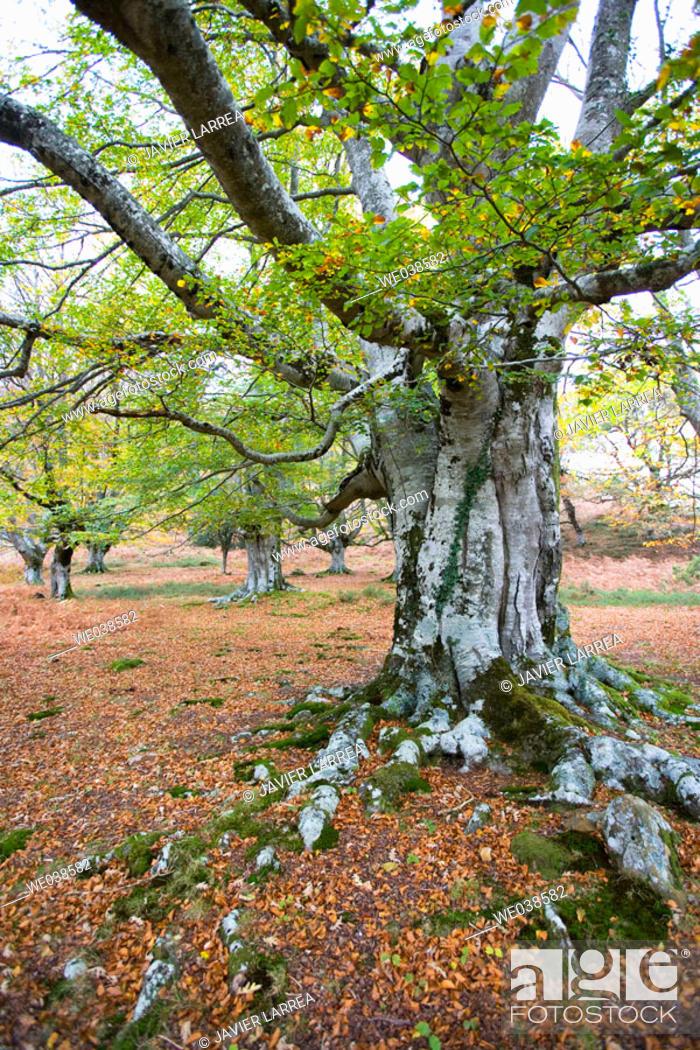 Stock Photo: Beechwood, Gorbea Natural Park. Álava-Biscay, Euskadi, Spain.