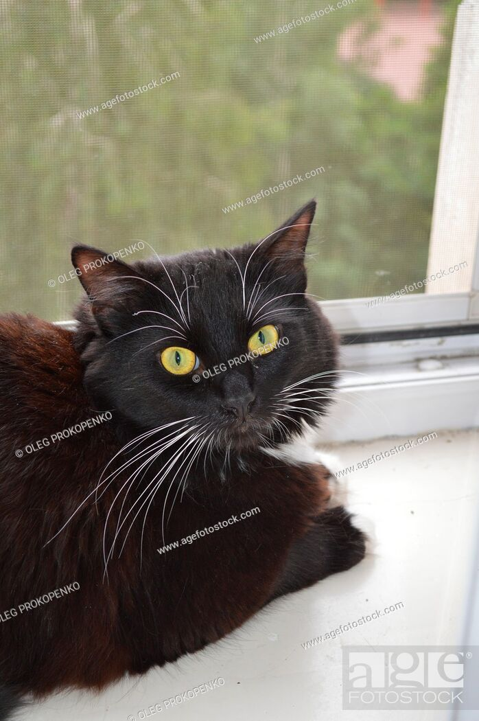 Stock Photo: Portrait of a black cat on the windowsill in the apartment.