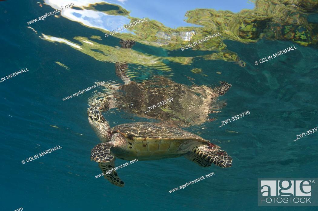 Stock Photo: Hawksbill Turtle (Eretmochelys imbricata) at surface breathing air, Cape Kri dive site, Dampier Strait, Raja Ampat, Indonesia.