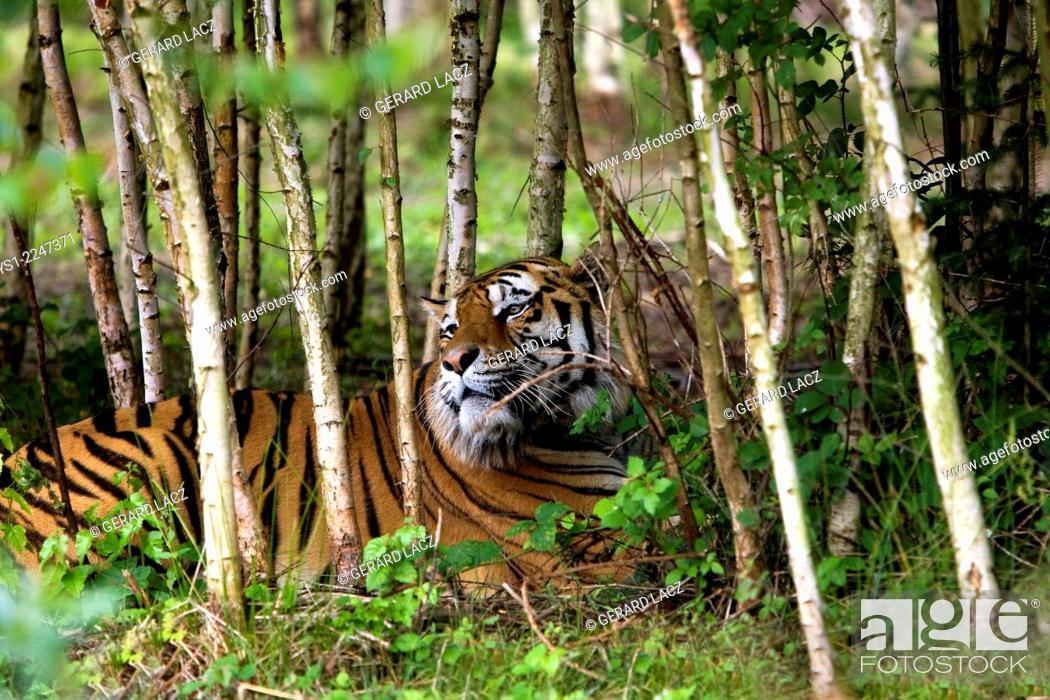 Stock Photo: Siberian Tiger, panthera tigris altaica.