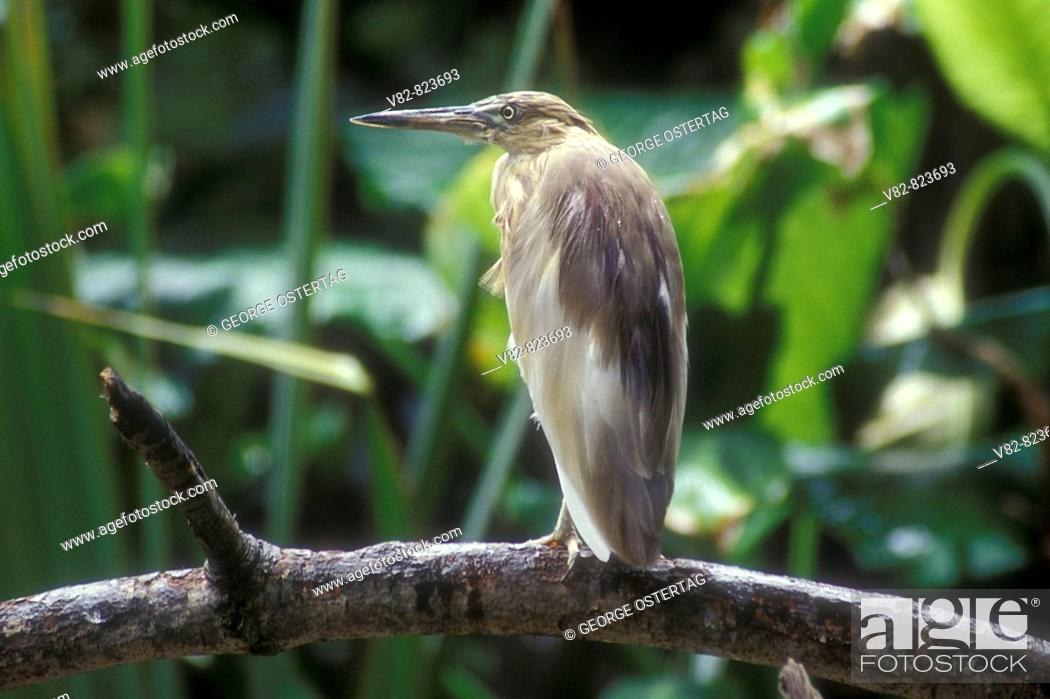 Stock Photo: CA594N Indian Pond heron, Captive animal, CA.