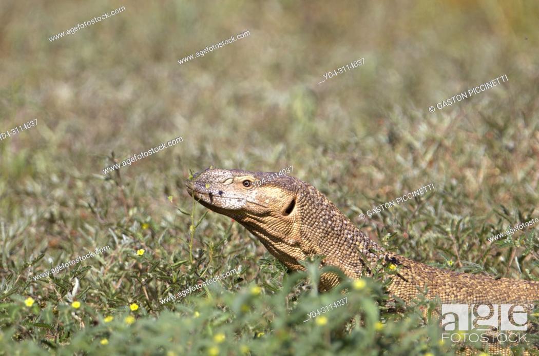 Stock Photo: Monitor lizards (genus Varanus), Kalahari desert, Kgalagadi Transfrontier Park, South Africa.