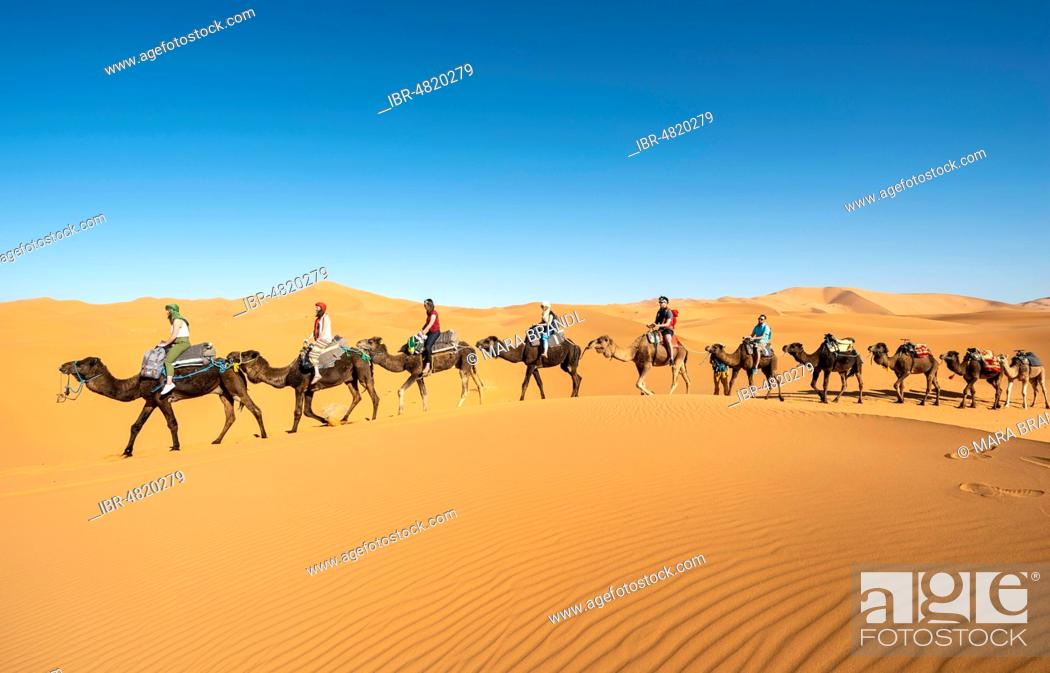 Stock Photo: Caravan with dromedaries (Camelus dromedarius), sand dunes in the desert, Erg Chebbi, Merzouga, Sahara, Morocco.