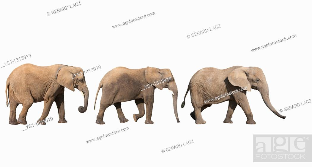 Stock Photo: AFRICAN ELEPHANT loxodonta africana.