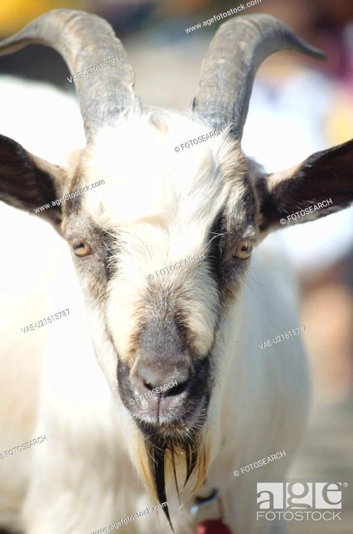 Stock Photo: One Goat.
