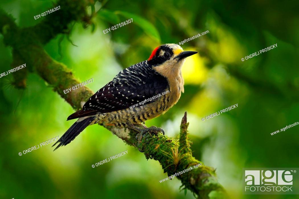 Stock Photo: Black-cheeked Woodpecker.