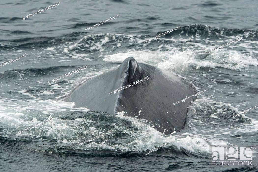 Stock Photo: A Humpback Whale swimming in Stephens Passage, a channel between Admiralty Island to the west and the Alaska mainland and Douglas Island to the east.