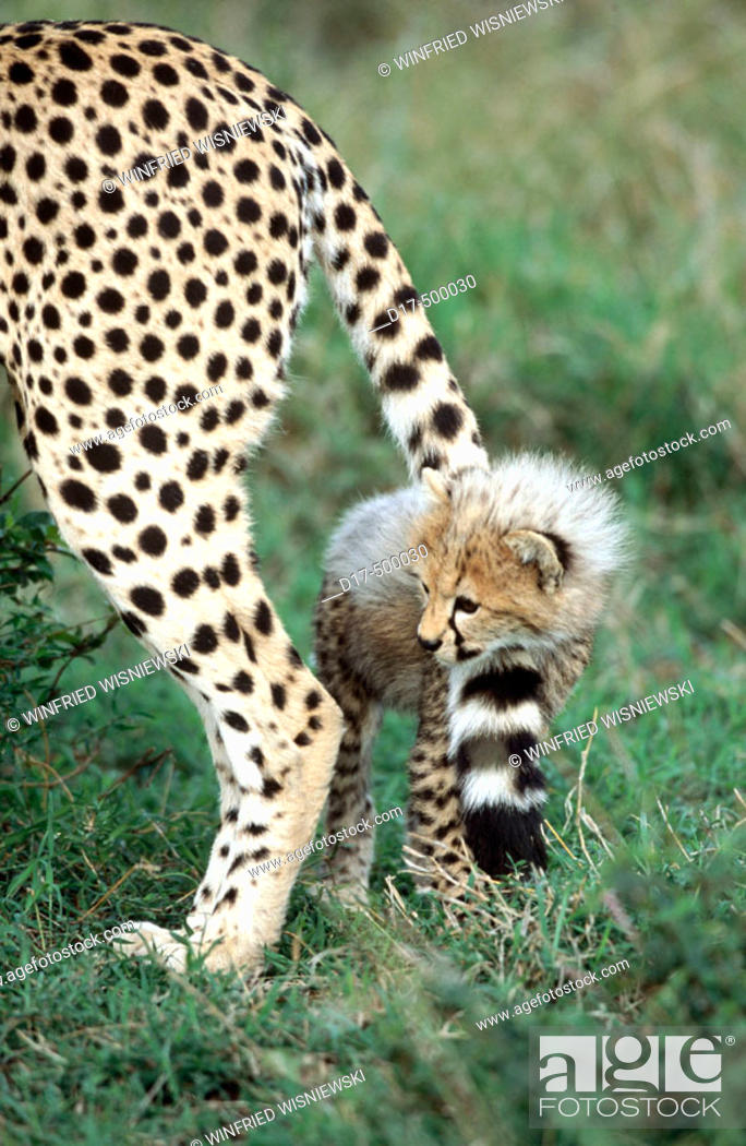 Stock Photo: Cheetah cub (Acynonix jubatus), playing with it's mother's tail. Masai Mara Natural Reserve. Kenya.