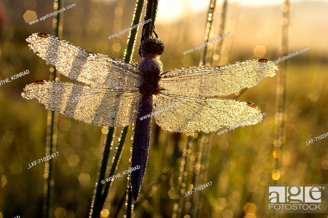 Stock Photo: Southern Skimmer Dragonfly, Orthetrum brunneum, male, Upper Bavaria, Germany.