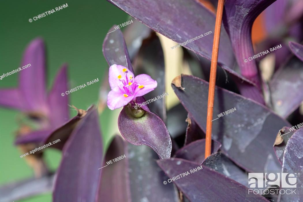 Stock Photo: Purple tradescantia plant with pink little flower closeup macro photo. Other names are wandering jew or purple queen.