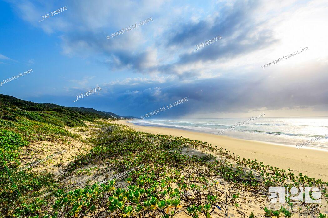 Imagen: Costal view showing Inkberry, Beachberry, Gullfeed, Half Flower or Waxy Bush (Scaevola plumieri). Thonga Beach Lodge. Mabibi. Maputaland.