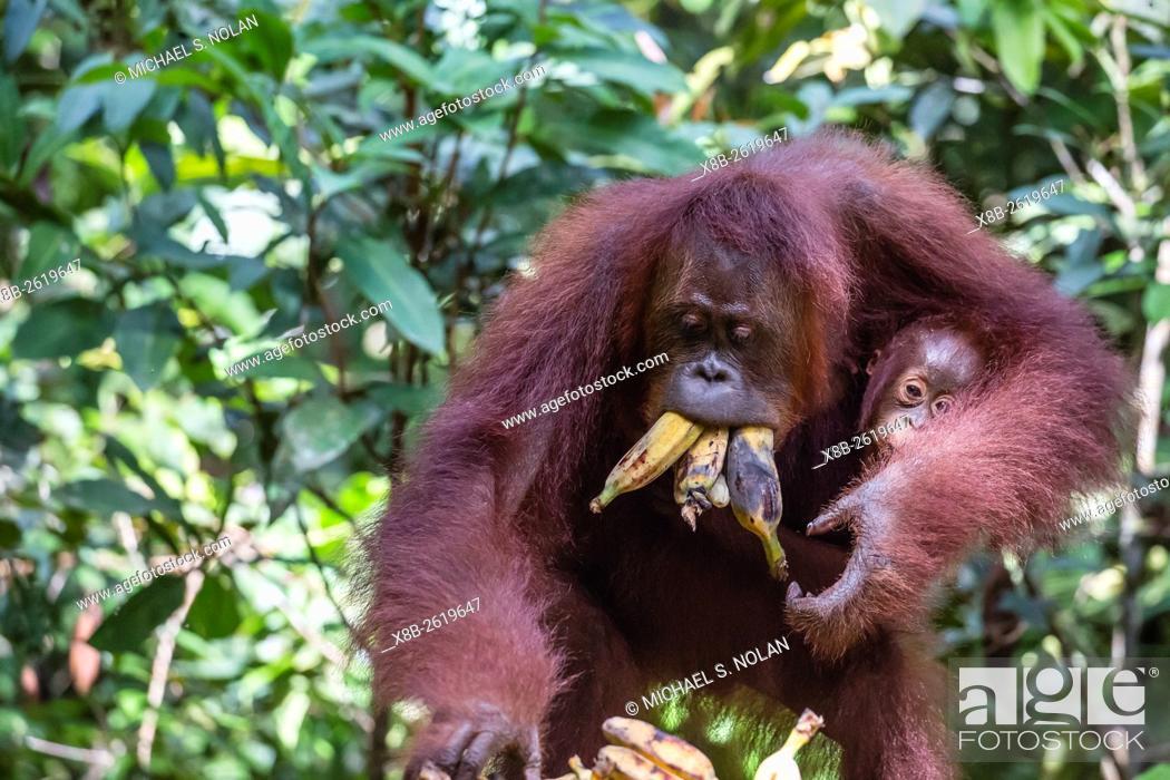 Stock Photo: Reintroduced mother and infant orangutan, Pongo pygmaeus, at feeding platform, Tanjung Puting National Park, Borneo, Indonesia.