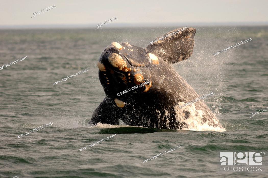 Imagen: Southern right whale (Eubalaena Australis) calf breaching, Nuevo Gulf, Argentina, South America.
