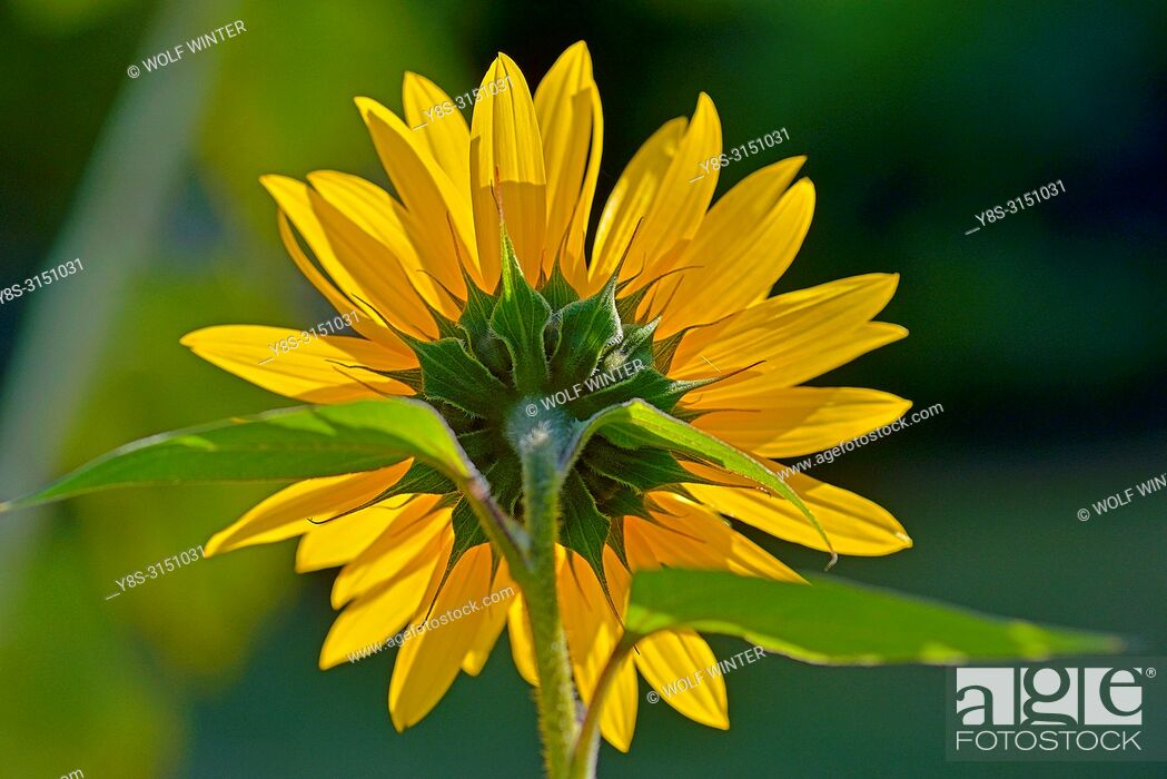 Stock Photo: Sunflower Blossom (s) in a Garden in Germany.