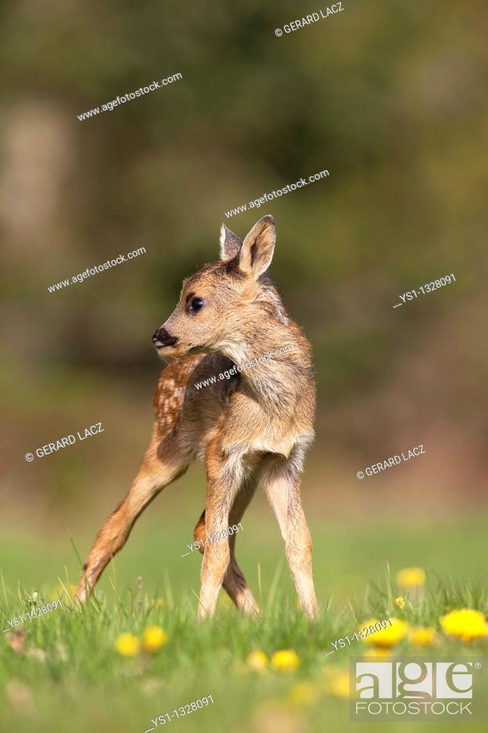 Stock Photo: Roe Deer, capreolus capreolus, Foan with Flowers, Normandy.