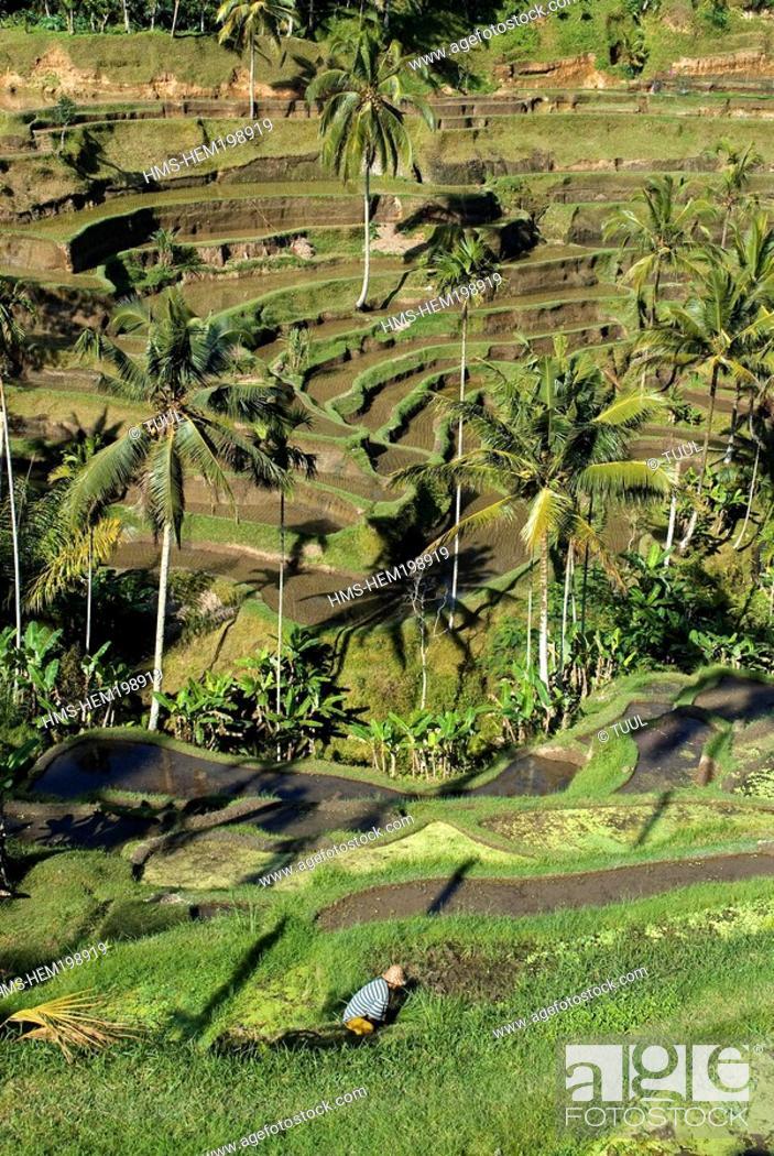Stock Photo: Indonesia, Bali, rice fields near Pujung village.