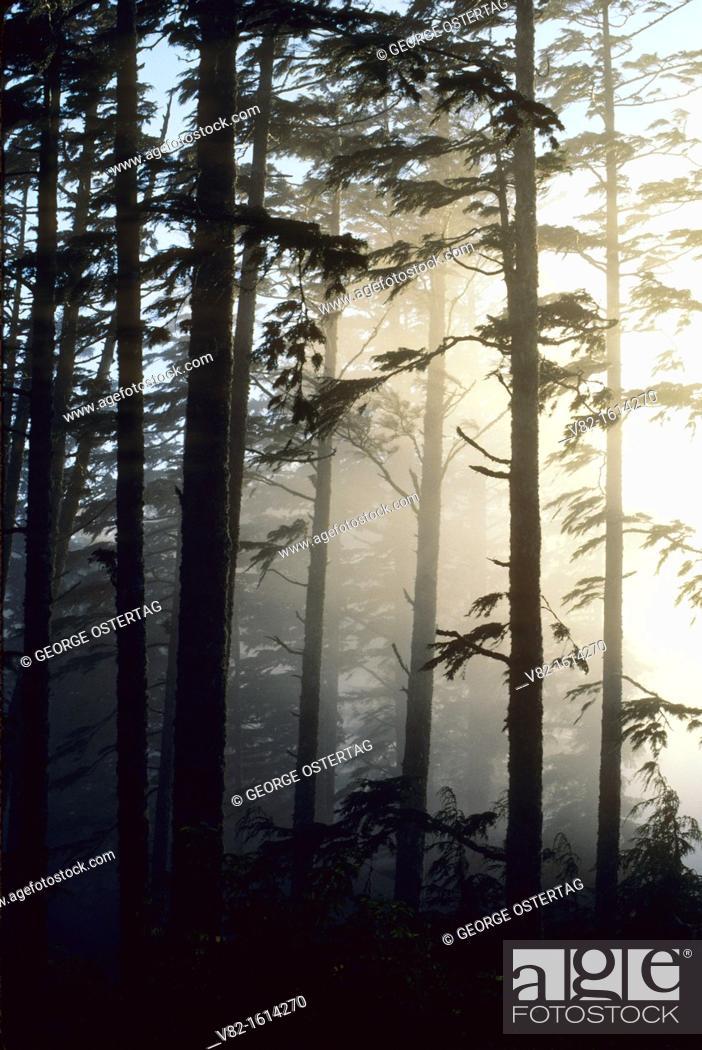 Stock Photo: Forest fog on Cascade Head, Siuslaw National Forest, Oregon.