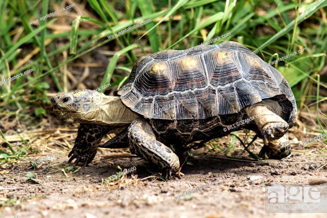 Stock Photo: Texas Tortoise (Gopherus berlandieri) - Camp Lula Sams - Brownsville, Texas USA.